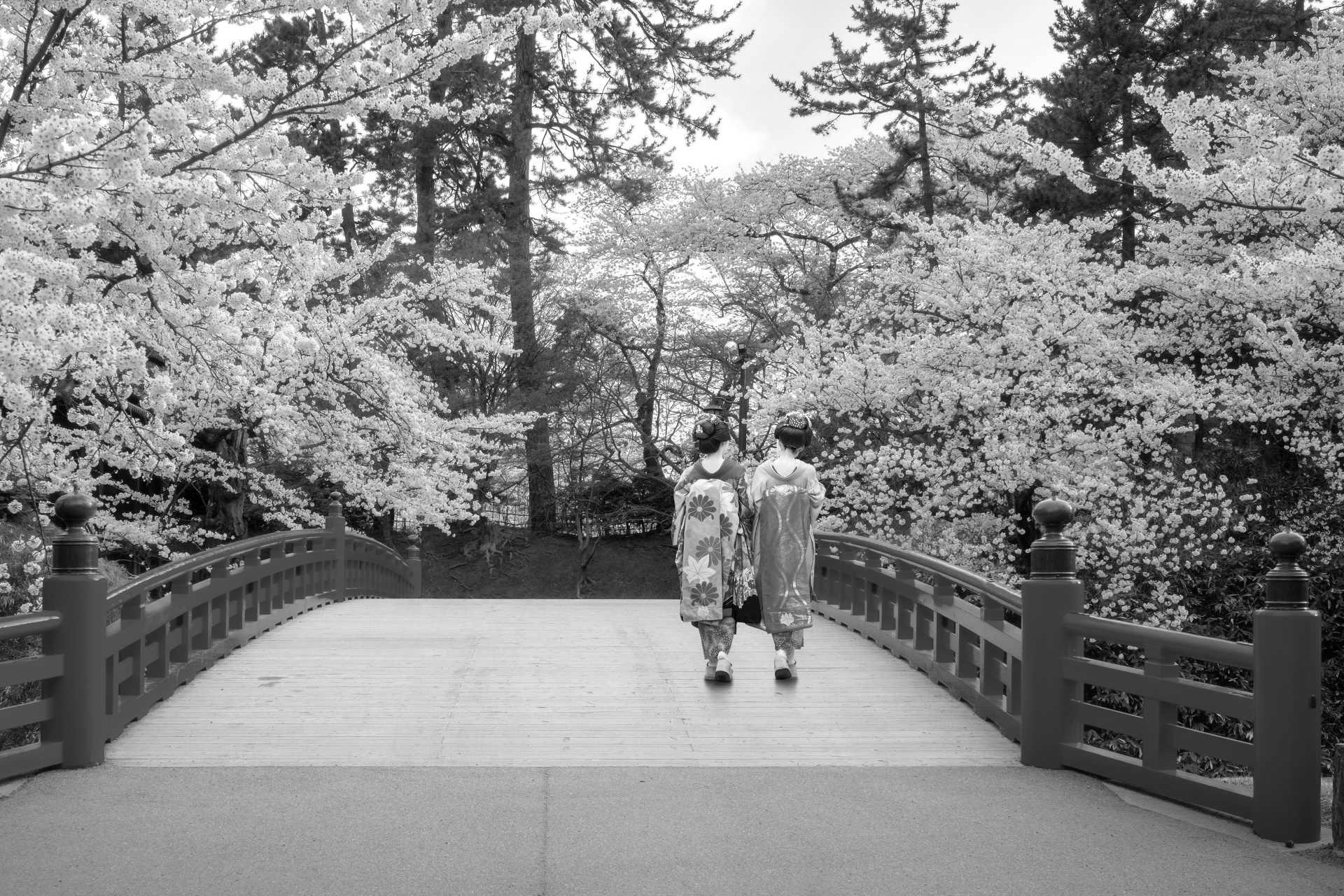 Hanami, la fioritura dei ciliegi
